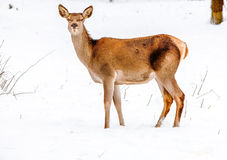 Fallow Deer In Winter Scenario Royalty Free Stock Image