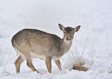 Fallow deer in winter snow. Portrait of young fallow deer in winter snow Royalty Free Stock Photography