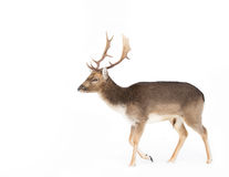 Fallow deer in front of white background in winter snow Stock Photo