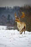 Fallow deer in winter snow field Royalty Free Stock Photos