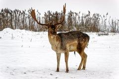 Fallow deer in winter snow field Royalty Free Stock Photo