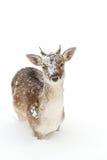 Fallow deer. In winter snow looking at camera Stock Image