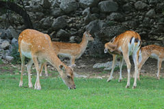 Fallow Deer in the wood Royalty Free Stock Photos