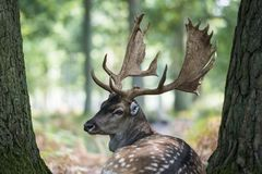 Fallow deer in the woods. Fallow deer recumbent between two trees in the forest stock images
