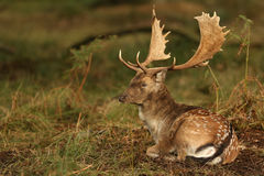 Fallow Deer ( Dama dama) resting in a wooded area. Stock Photos