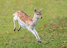 Fallow Deer Yearling. Fallow deer yearling in full flight, Warwickshire, England royalty free stock photography