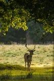 Fallow Deer. stock photography