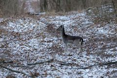 Fallow deer youngster in winter forest.  Stock Photo