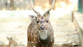 Fallow Deer at zoo. Fallow Deer at VOC Park in Coimbatore royalty free stock photo