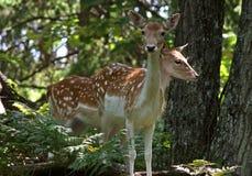 Fallow deers Royalty Free Stock Image