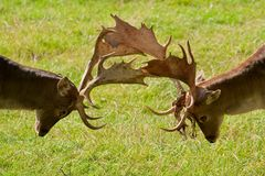 Fallow deers. Two fallow deers in a playful fight Royalty Free Stock Photography