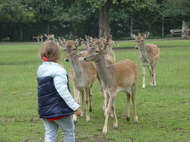 Fallow deers. A young girl feeds Fallow deers from her hand Stock Photo