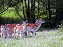 Fallow deers. Browsing on the forests outskirts stock images