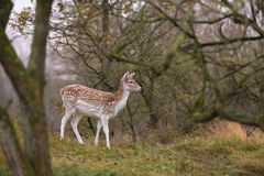 The Fallow Deers' appearance stock photography
