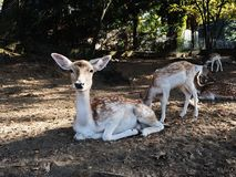 Fallow deers in autumn park. Beautiful spotted fallow deers in faunistic park in the fall, mother and baby stock images