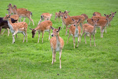 Fallow deers in a clearing Stock Image