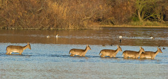 Fallow Deers crossing the lagoon at sunset Royalty Free Stock Image