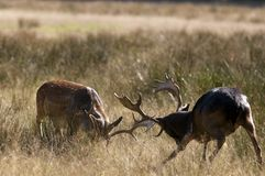 Fallow deers (Dama dama) fighting in Autumn Stock Photography