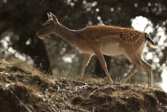 Fallow Deers, Dama dama, Spain stock photos