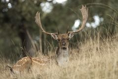 Fallow Deers, Dama dama, Spain. Lying on a hill stock photography
