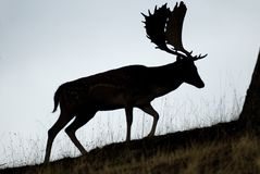 Fallow Deers, Dama dama, Spain. Male against backlight, silhouette stock photo