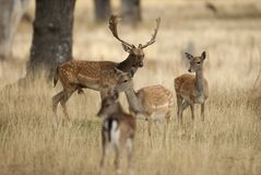 Fallow Deers, Dama dama, Spain. Male with a group of females royalty free stock photo