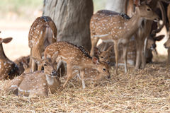 Fallow deers Royalty Free Stock Images
