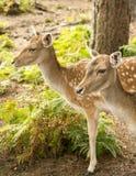 Fallow deers Stock Image