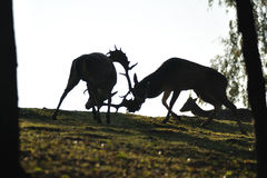 Fallow deers fighting siluet. On green grass in wood Stock Photo