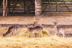 Fallow-deers flock Royalty Free Stock Photography