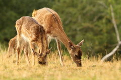 Fallow deers grazing in a clearing Stock Photo
