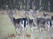 These fallow deers in the Havlovice. Very nice fallow deers turned to our side, flock of fallow deers stock photography