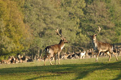 Fallow deers before herd. Two fallow deers before herd on green grass stock image