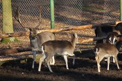 Fallow deers herd, king of the forest with children Royalty Free Stock Photos