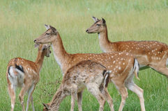 Fallow deers Stock Images