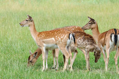 Fallow deers Stock Photos