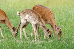 Fallow deers Stock Photo