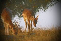 Fallow deers with instagram effect Royalty Free Stock Photography