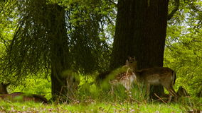 Fallow Deers at itchy times stock footage