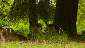 Fallow Deers lying on the ground stock video