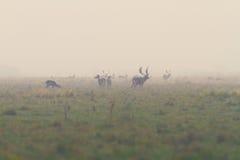 Fallow deers in mating season Stock Image