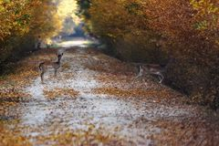 Fallow deers passing road in the forest. Dama royalty free stock photography