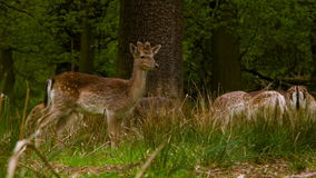 Fallow Deers at a peaceful afternoon stock video footage