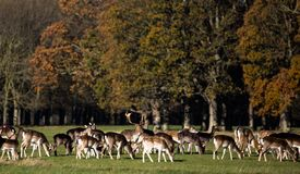 Fallow Deers in Phoenix Park. Huge male with big antlers in a pack of females stock images