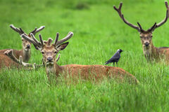 Fallow Deers. Are resting in the grass in the park Royalty Free Stock Image