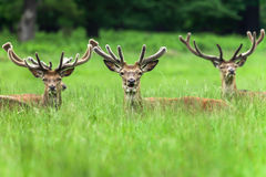 Fallow Deers. Are resting in the grass in the park Stock Photography