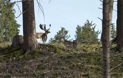 Fallow deers in Rosegg Wildpark Royalty Free Stock Photography