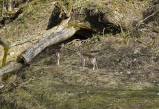 Fallow deers in Rosegg Wildpark Stock Photography