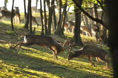 Fallow deers in rut fight. Ing together in wood Royalty Free Stock Photo