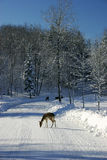 Fallow Deers on a Snowy Road royalty free stock image